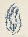 Delesseria Hypoglossum Prints by Henry Bradbury