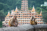 Indian Macaque Monkeys Photographic Print by asaf eliason