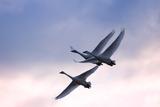 Tundra Swans in Flight Impressão fotográfica por Delmas Lehman