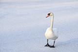 Swans on the Frozen Lake Impressão fotográfica por  roae