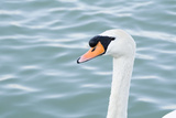 Mute Swan Head Photographic Print by  tigidal