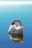 Sleeping Swan in Blue Water Reproduction photographique par  SusaZoom