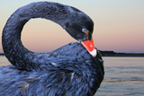 Black Swan Photographic Print by  ekays