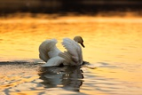 Swan on Sunset Lake Photographic Print by  Milosz_G