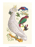 Cockatoo, Parrot, Blackbird & Hummingbird Print by Albertus Seba