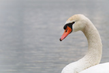 Swan Photographic Print by  fredleonero
