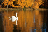 Swan on A Lake Photographic Print by Teemu Tretjakov Photography