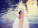 Mute Swan, Cygnus Olor, Single Bird on Dark Water Toned with a Retro Vintage Instagram Filter Effec Photographic Print by  graphicphoto