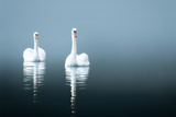 Swans in the Misty Lake Impressão fotográfica por  Saiva