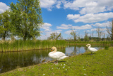 Swan on the Shore of a Lake in Spring Photographic Print by Jan Marijs