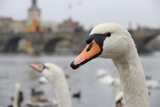 Portrait of A Swan in Prague Impressão fotográfica por  FERKHOVA