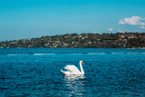 Graceful White Swan on A Blue Lake of Geneva City Photographic Print by  yromanenko