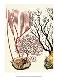 Sea Whip, Coral, Cabinet of Natural Curiosities (1734-1765) Posters by Albertus Seba