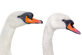 Couple of White Mute Swans, Isolated Impressão fotográfica por  DiversityStudio