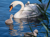 Mute Swan and Young Family Photographic Print by  hipproductions
