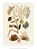 Sea Lace, Red Coral, Cabinet of Natural Curiosities (1734-1765) Prints by Albertus Seba