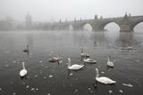 Morning Fog over Swimming Swans and the Charles Bridge in Prague, Czech Republic. Impressão fotográfica por  wrangel