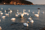 Swan White Photographic Print by  feichang7jia1