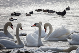 White Swans Impressão fotográfica por Sagitov Aleksey