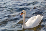 Swan in the Water Impressão fotográfica por Massimiliano Ranauro