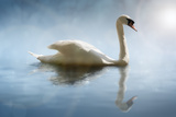 Swan in the Morning Sunlight with Reflections on Calm Water in a Lake Impressão fotográfica por  Flynt