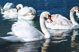 Swans on the Lake Impressão fotográfica por Vakhrushev Pavel