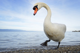 Mute Swan in Water Photographic Print by  AndreAnita