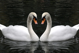 Swan Symbol of Love Photographic Print by  mamaluk