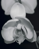 Night Orchid I Giclee Print by Tony Koukos