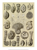 Art Forms of Nature, Thalamophora Prints by Ernst Haeckel