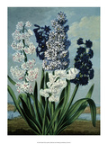 Botanical Print, Hyacinths Prints by Sydenham Teak Edwards