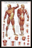 Muscular System Photo