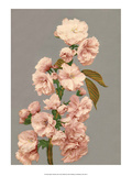Cherry Blossom, Vintage Japanese Photography Art by Ogawa Kasamase