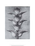 Bear's Breeches Prints by Karl Blossfeldt