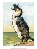 Bird Illustration, The Cormorant, 1899 Posters by Edward Detmold