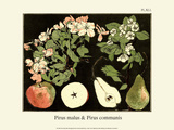 Botanical Print, Wild Crab Apple & Wild Pear, 1905 Posters by Luite Klaver
