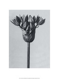 Garlic Plant Poster by Karl Blossfeldt