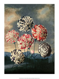 Botanical Print, Group of Carnations Posters by Peter Charles Henderson
