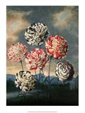 Botanical Print, Group of Carnations Art PrintPeter Charles Henderson