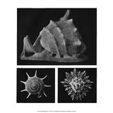Shell Triptych Prints by J.B. Polak