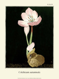 Botanical Print, Autumn Crocus, 1905 Posters by Luite Klaver
