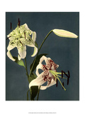 Star Gazer Lilies, Vintage Japanese Photography Prints by Ogawa Kasamase