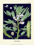 Botanical Print, Broad Bean, 1905 Art by Luite Klaver