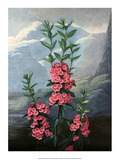 Botanical Print, The Narrow-Leaved Kalmia Poster by Philip Reinagle