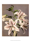 Star Gazer Lilies, Vintage Japanese Photography Art by Ogawa Kasamase