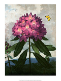 Botanical Print, The Pontic Rhododendron Poster by Peter Charles Henderson