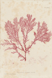 Plocamium Giclee Print by Henry Bradbury