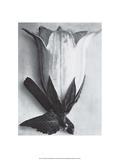 Karl Blossfeldt - Bell Flower Umělecké plakáty