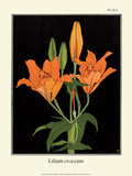 Botanical Print, Orange Lily, 1905 Posters by Luite Klaver