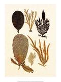 Algae, Black Coral, Cabinet of Natural Curiosities Poster by Albertus Seba
